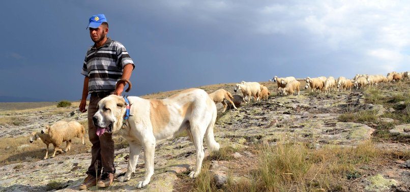 CHINAS HAN SHEEP UNDER PROTECTION OF TURKISH MASTIFFS