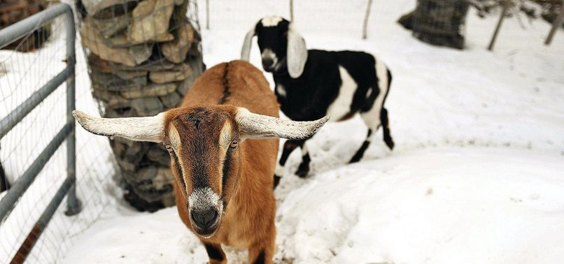 VERMONT TOWN ELECTS GOAT AS HONORARY MAYOR