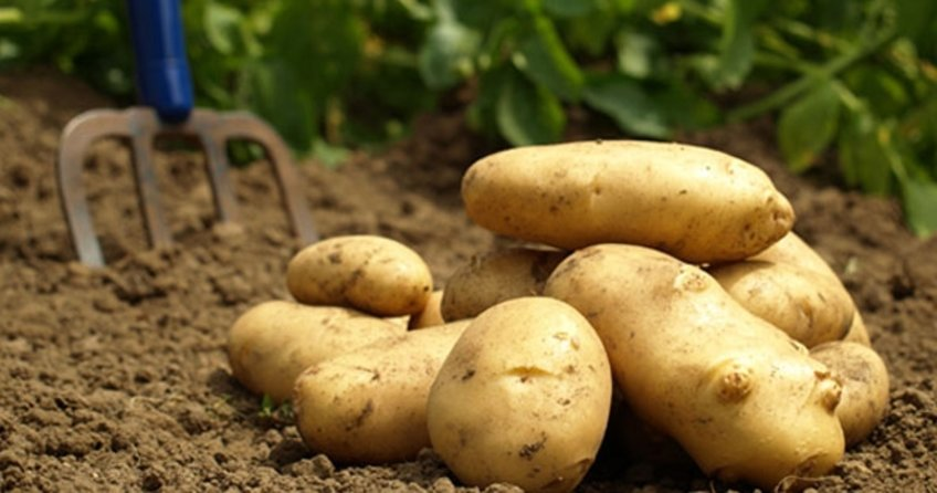 500 bin ton patates ihracat için bekliyor