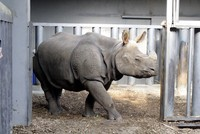 Turkey's first Indian rhinoceros, Samir, has finally been united with his new mate, Komala the rhino from the U.K.