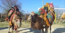Turkey preparing to get camel wrestling on UNESCO list