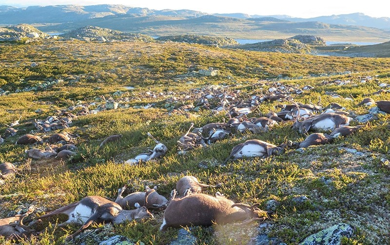 Some 323 dead wild reindeers struck by lightning are seen littering a hill side on Hardangervidda mountain plateau in central Norway on Saturday August 27, 2016 (AFP Photo)