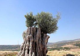 Kesildikten Sonra Yeniden Dikilen 800 Yıllık Ağaç Meyve Verdi!