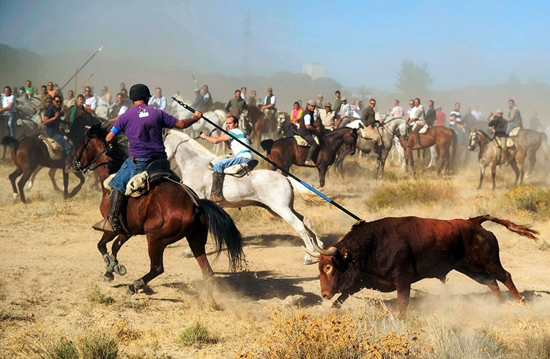 A file picture taken on September 17, 2013 shows a horseman stabbing a bull with a spear during the 'Toro de la Vega' festival. (AFP Photo)